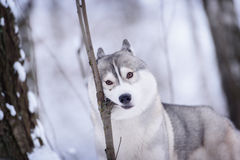 Siberian husky dog winter portrait. Siberian husky dog gray and white winter portrait Stock Image