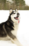 Siberian Husky dog in the woods. In winter Stock Image