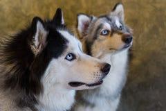 Siberian Husky dogs. Royalty Free Stock Photography