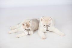 Siberian Husky dogs Stock Photography