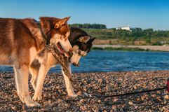 Siberian husky dogs play on the shore of a summer river. Happy Siberian husky gnaw a stick and take away from each other. Games with dogs on walk. Copy space stock photo