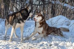 Siberian husky dogs playing in winter forest. Fight, growl, ready to fight with hair on end in fighting stance. Siberian husky dogs playing in winter forest stock image