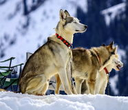 Siberian husky dogs portrait Stock Photography