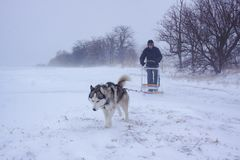 Sledge dogs in snow. Siberian Husky dogs are pulling a sledge with a man in winter forest royalty free stock photo