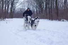 Sledge dogs in snow. Siberian Husky dogs are pulling a sledge with a man in winter forest stock image