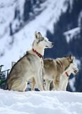 Siberian husky dogs resting Stock Photos
