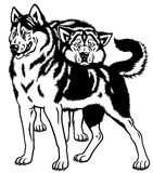 Siberian husky dogs Stock Image