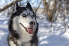 Siberian husky dogs smiling with out tongue. Dog husky with blue eyes. Cheerful Siberian husky dogs smiling with out tongue. Dog husky with blue eyes in winter royalty free stock photography