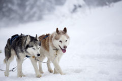 Siberian Husky dogs in the snow Royalty Free Stock Photography