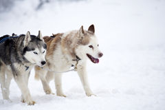 Siberian Husky dogs in the snow Royalty Free Stock Images
