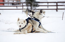 Siberian Husky dogs in the snow Stock Image