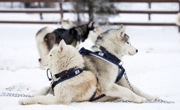 Siberian Husky dogs in the snow Royalty Free Stock Image