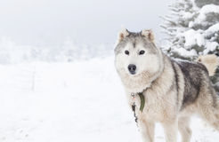 Siberian Husky dogs in the snow Royalty Free Stock Photo