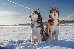 Siberian Husky dogs on sunny winter background. Portrait of two husky dogs sitting on the white snow against a clear blue sky. stock image