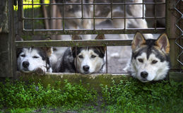 Siberian Husky dogs Stock Photos
