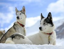 Siberian husky dog in the snow Royalty Free Stock Images