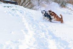 Siberian husky dogs winter. Happy husky run in white snow. Beautiful siberian husky snow dogs. Copy space royalty free stock photography