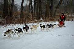 Siberian Husky Dogsledding Stock Photography