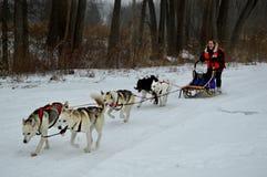 Siberian Husky Dogsledding Royalty Free Stock Images