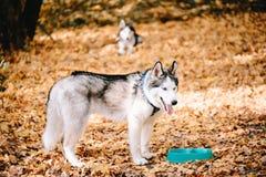 Siberian Husky drinks water royalty free stock photography