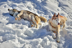 Siberian husky enjoying the snow. In a winter day Royalty Free Stock Photos
