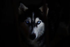 Siberian husky. Face looking to you Royalty Free Stock Image