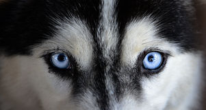 Siberian husky. Face looking to you Royalty Free Stock Images