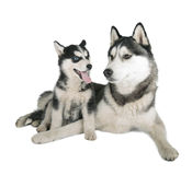 Siberian Husky Father and Son. On white background stock image
