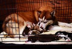 Siberian husky feeding puppy in cage Stock Photo