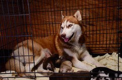 Siberian husky feeding puppy in cage Royalty Free Stock Image