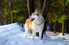 Siberian husky in a forest. On a sunny winter day Royalty Free Stock Photography