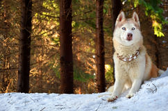 Siberian husky in a forest. On a sunny winter day Royalty Free Stock Image