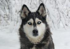 Siberian Husky för snöig hund Royaltyfri Fotografi