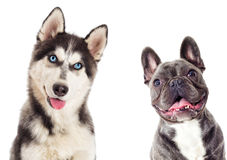 Siberian husky And the French bulldog on white backg. Portrait of Siberian husky And the French bulldog on white background royalty free stock image