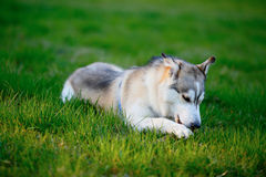 Siberian Husky frolic with a wooden stick in his mouth Stock Images