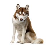Siberian Husky in front of a white background Royalty Free Stock Photography