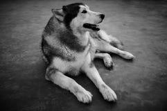 Siberian Husky. Full body of tame dog sitting on ground. Stock Photos