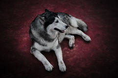 Siberian Husky. Full body of tame dog sitting on red ground. Royalty Free Stock Images