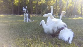 Siberian Husky fun frolics on the grass. Two Siberian Husky on the walk stock video