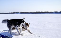 Siberian husky fun playing in. The snow on a clear Sunny day. Fighting Dogs Baring fangs Royalty Free Stock Photos