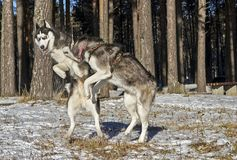 Siberian husky fun playing in. The snow-covered forest on a clear Sunny day. Look each other in the eye and jump high Stock Photography