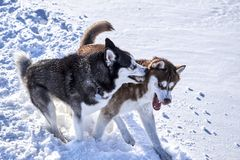 Siberian husky fun playing in. The snow on a clear Sunny day. Fighting Dogs Baring fangs royalty free stock images