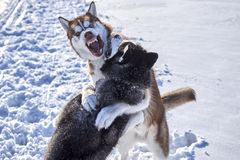 Siberian husky fun playing in. The snow. Fighting Dogs Baring fangs stock images