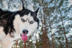 Siberian husky funny muzzle. Black. And white dog with blue eyes walking in a winter forest Royalty Free Stock Photos