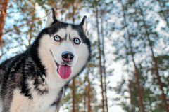 Siberian husky funny muzzle a. Walk in the winter woods Stock Image