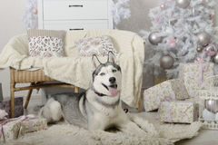 Siberian husky in a gentle Christmas interior. Natured Siberian husky in a gentle Christmas interior - the personification of cozy home stock image