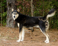 Siberian Husky German Shepherd mixed breed dog. With one blue eye, outdoor pet photography, humane society adoption photo, Walton County Animal Shelter, Georgia Stock Photos