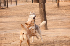 Siberian husky and golden retriever. Siberian Husky play with golden retriever Stock Photo