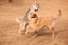 Siberian husky and golden retriever. Siberian Husky play with golden retriever Royalty Free Stock Photo