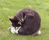 Siberian Husky in grass licking itself stock images
